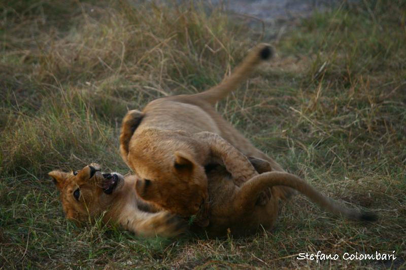 Leoni e giocosità, foto di Stefano Colombari